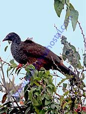 Andean-Guan