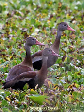 Black-bellied Whistiling Duck