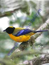 Black-chinned-Mountain-Tanager