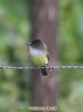 Black-headed Tody-Flycatcher_Todirostrum nigiceps