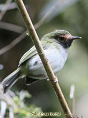 Black-throated Tody-Tyrant_Hemitriccus granadensis