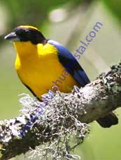 Blue-Winged-Mountain-Tanager
