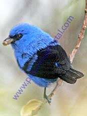 Blue-and-black-Tanager