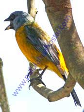 Blue-and-yellow-Tanager