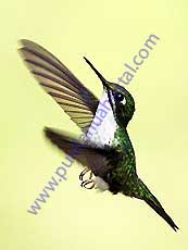 Booted Racket-tail Fedmale