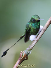 Booted-Racket-tail_Ocreatus-underwoodii