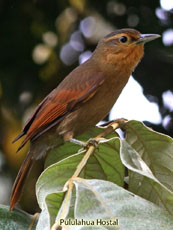 Buff-fronted-Foliage-gleaner_Philydor-rufus