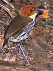 Chestnut-crowned_Antpitta