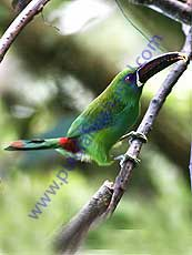 Crimson-rumped_Toucanet