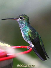Glittering-Throated-Emerald - Amazilia-frimbriata