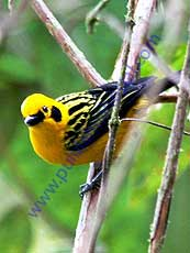 Golden_Tanager
