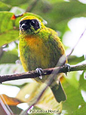 Green-and-gold-Tanager - Tangara-shrankii