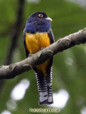 Northern Violaceous Trogon