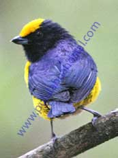 Orange-bellied-Euphonia
