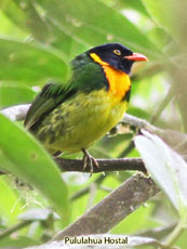 Orange-breasted-Fruiteater_Pipreola-jucunda