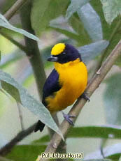 Orange-crowned-Euphonia - Euphonia xanthogaster