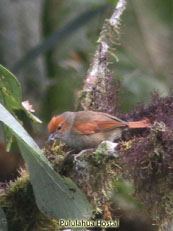 Red-faced Spinetail_Cranioleuca erythrops