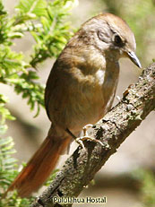 Spinetail Sp.