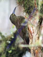 Strong-billed-Woodcreeper