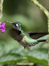 Violet-Headed-Hummingbird - Klais-guimeti