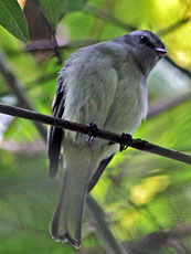 White-banded-Tyrannulet_Mecocerculus-stictopterus