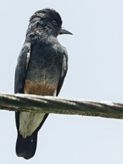 Swallow-winged Puffbird